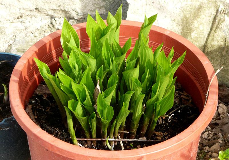 hosta hostas shoots