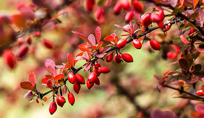 invasive plants japanese barberry