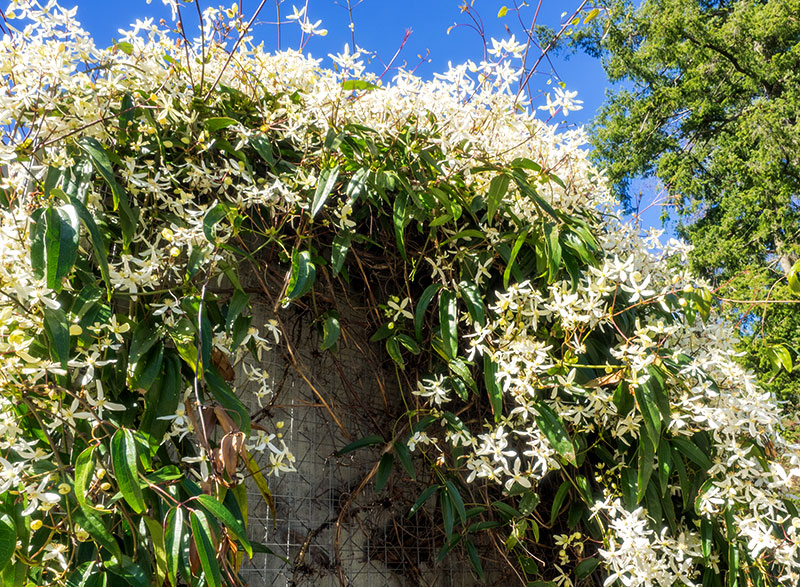 invasive plants sweet autumn clematis