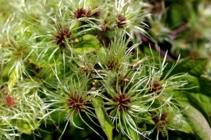 invasive plants virgin's bower