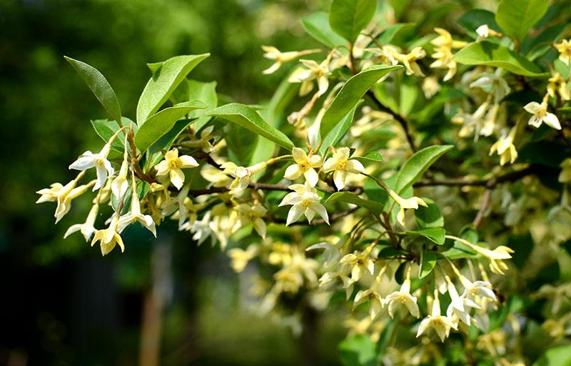 invasive plants autumn olive