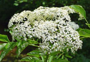 invasive plants elderberry