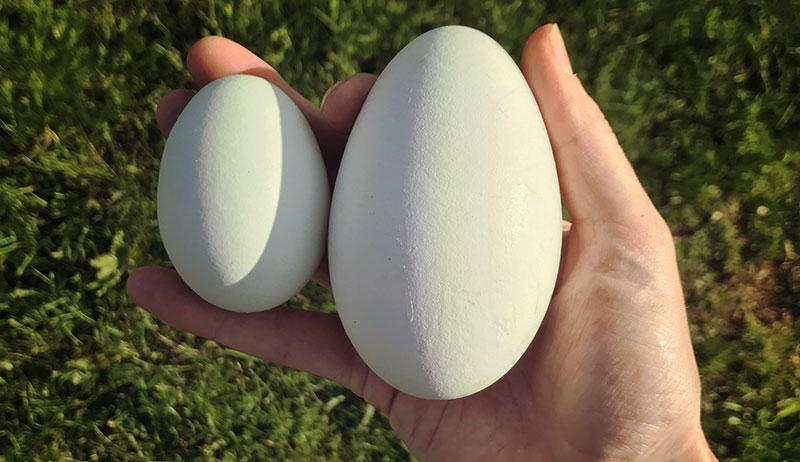 duck goose eggs ducks geese
