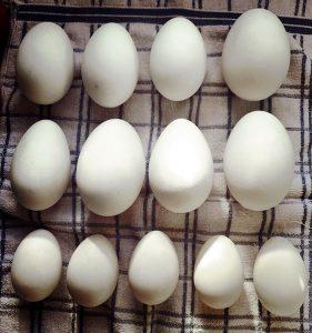 eggs duck goose chicken