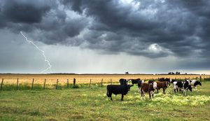 lightning livestock cattle farm