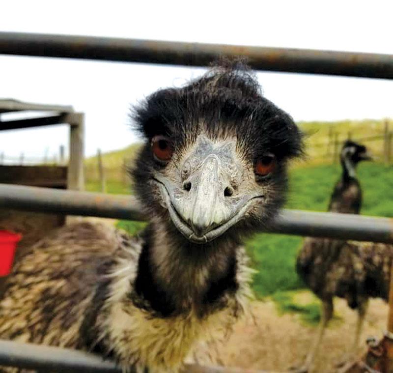 emu photo animal photos