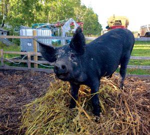 pig photo animal photos