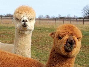 alpacas photo animal photos