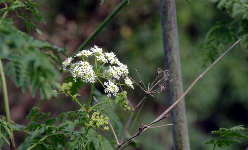 poison hemlock wildflowers