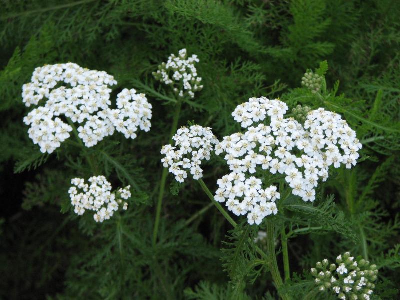 yarrow wildflowers