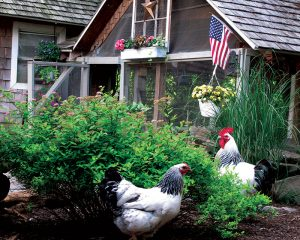 chickens heat summer cool hot weather