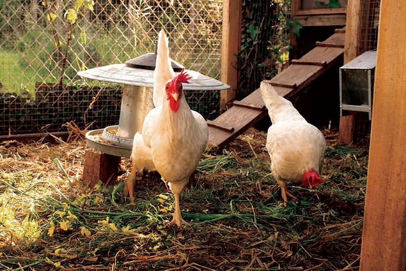 chicken coop chickens health disease