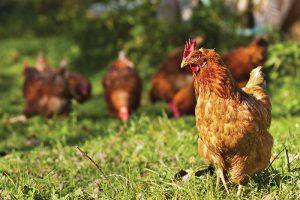 chickens chicken health disease