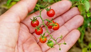 currant tomatoes tomato poisonous wild plants