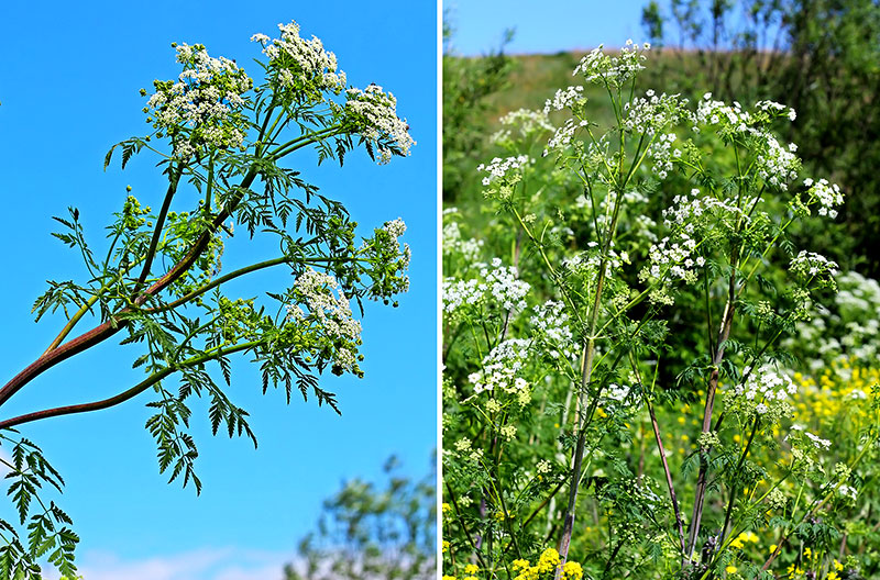 hemlock poisonous wild plants