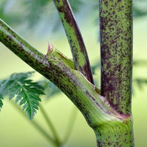 hemlock stalk poisonous wild plants