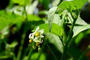 black nightshade poisonous wild plants
