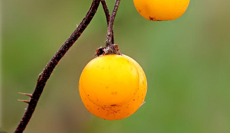 horse nettle berries poisonous wild plants