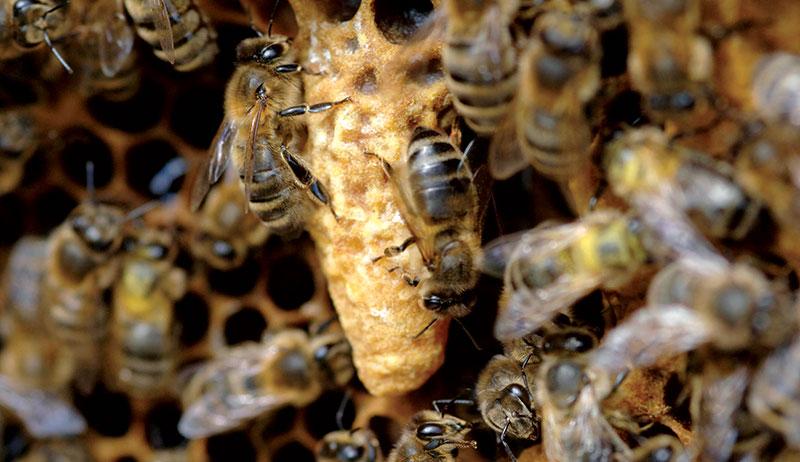 bees beekeeping summer