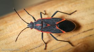 box elder bug insects chickens