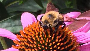 pollinators bee flower