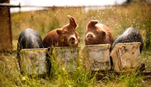 pigs pig gut health feed nutrition