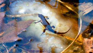salamanders salamander eggs egg mass