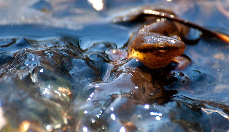 salamander salamanders