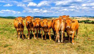 livestock summer pastures cattle