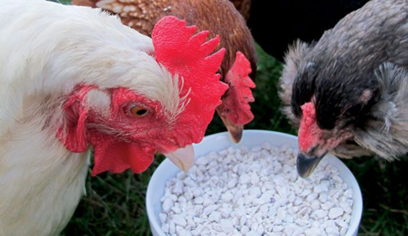 chickens grit oyster shell