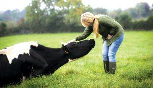 milk cow cows woman farm field