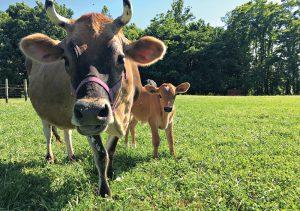 milk cow calf cows calves