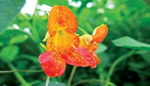 herbs skin remedies jewelweed