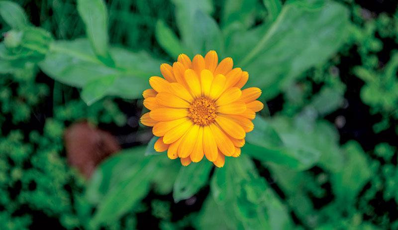herbs skin remedies calendula