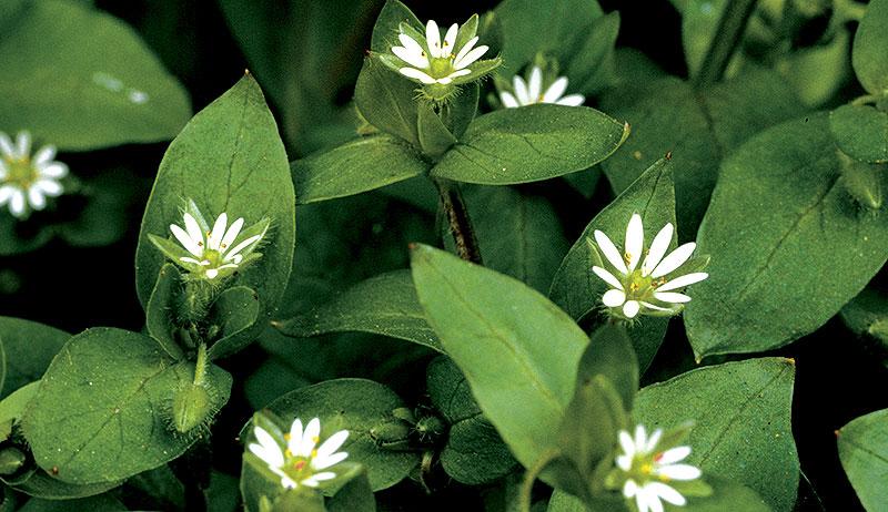 herbs skin remedies chickweed