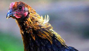 chicken breeds liege fighter