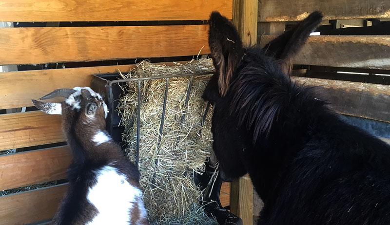 goats donkeys pasture