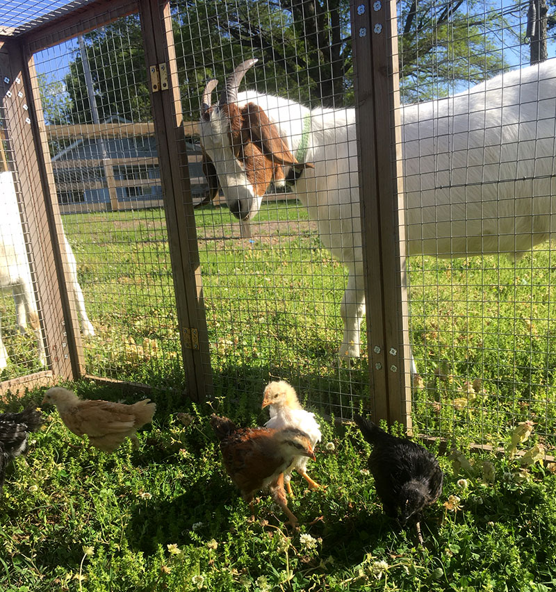 goats chicks chickens pasture