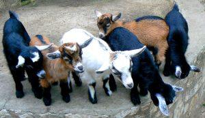 goat breeding pygmy kids goats