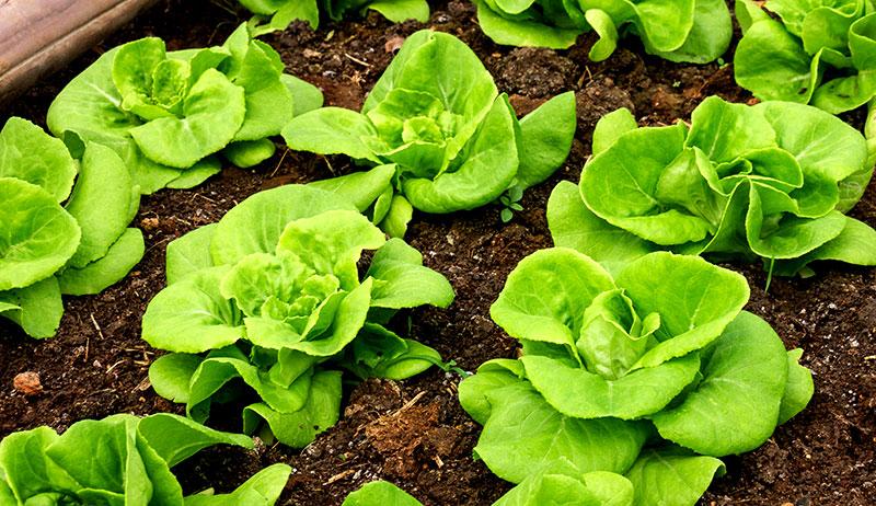 lettuce summer