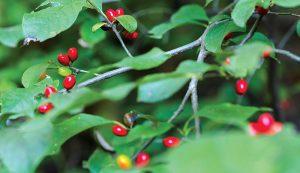 spicebush medicinal plants herbs