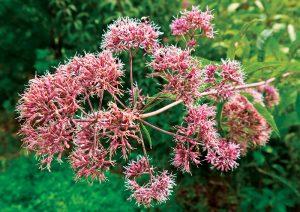 joe pye weed medicinal plants herbs