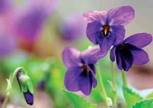 violet violets medicinal plants herbs
