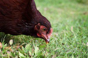 chicken food feed forage foragin