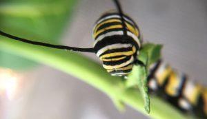 butterflies caterpillars monarch caterpillar