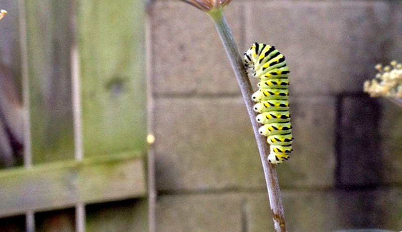 butterflies caterpillars eastern black swallowtail caterpillar