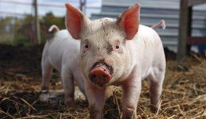 pigs hogs livestock farm
