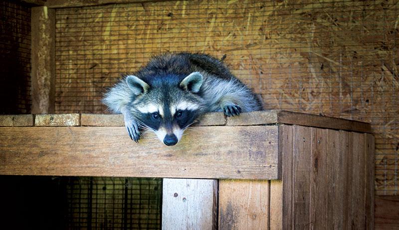 predators chickens raccoon