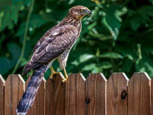 hawk predators chickens