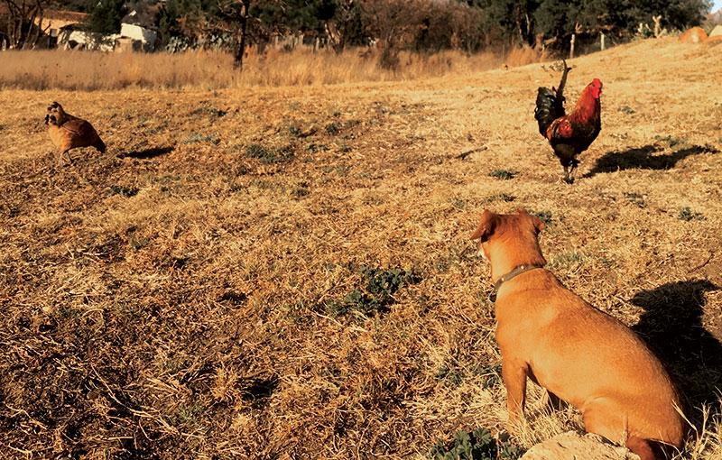 dog predators chickens